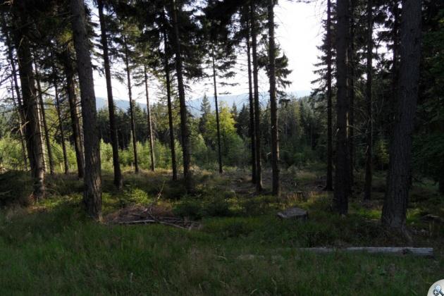 Gęsty las zasłania widoki